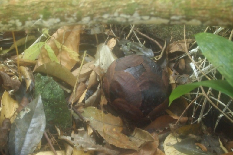 Rafflesia young bud