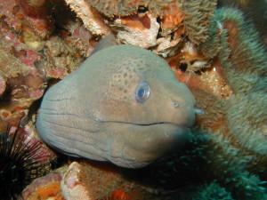 Moray eel, Thailand