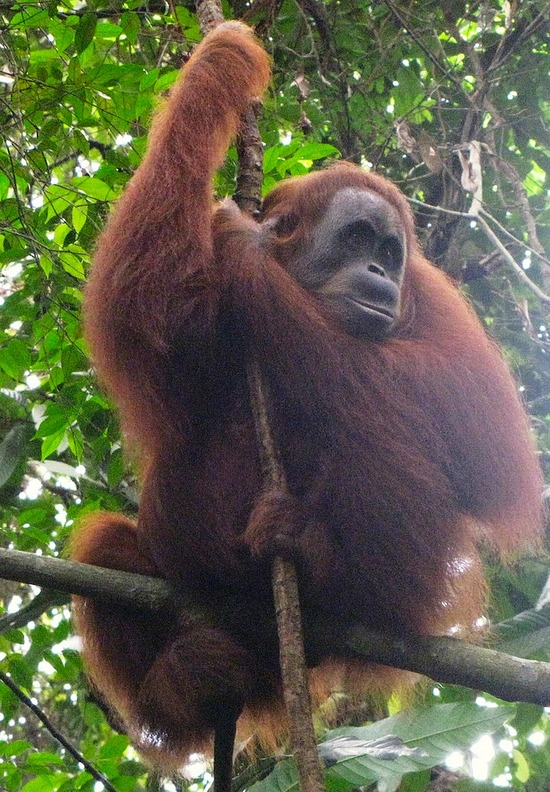 Looking for wild Orangutan's - The Bohorok Orangutan Centre at Bukit Lawang