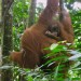 Hanging Out with the Orangutans in Medan