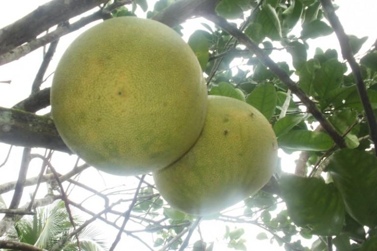 Ripe pomelos on the plant