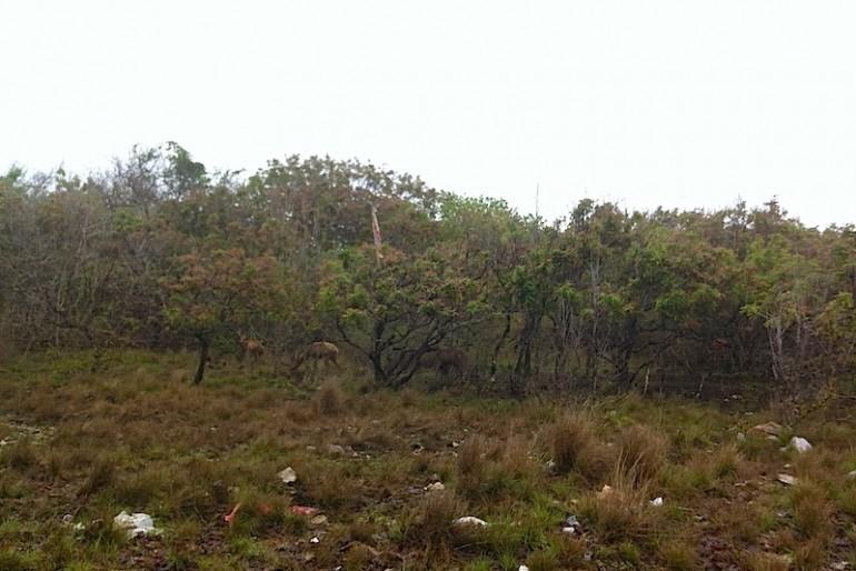 The shy deers on Menjangan