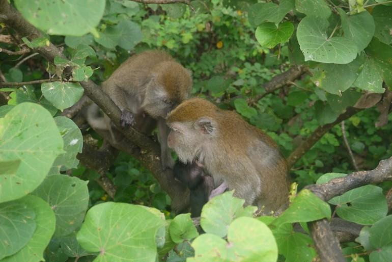 Family of monkeys in Teluk Cempedak