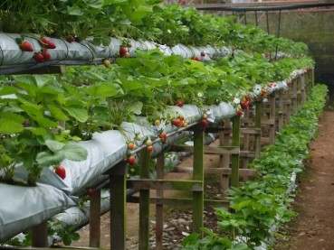 Genting Strawberry Leisure Farm