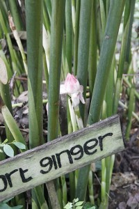 sweet ginger plant at the Laksmi agro tourism