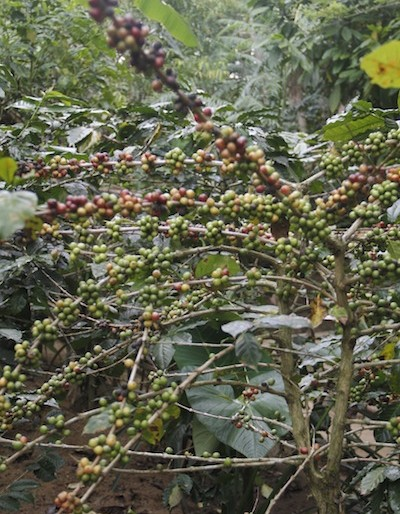arabica coffee plants