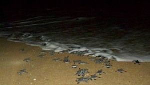 Turtles released at sea in the night