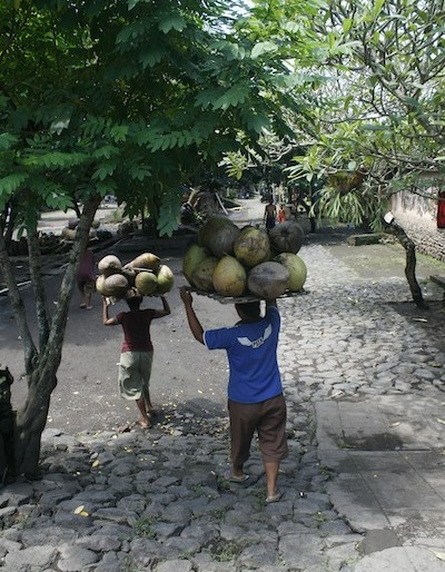 Carrying coconuts along cobbled stoned paths