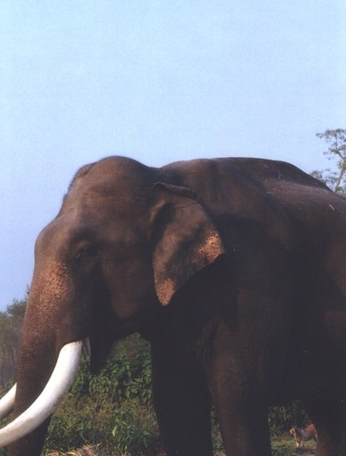 Chitwan asian elephant