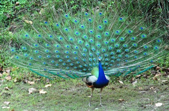 Peacock opening its wheel