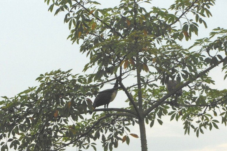 Chitwan peacocks on trees