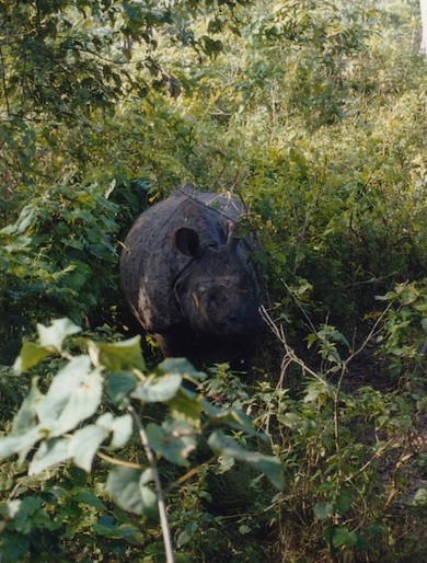 The Chitwan rhino