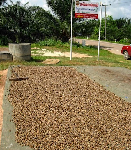 thousands of cashew nuts drying