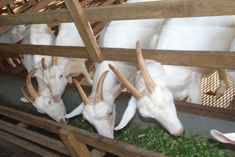 Goats at the goat dairy farm