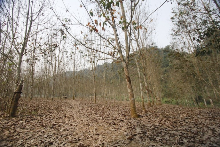 Trekking through rubber trees