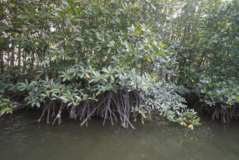 Krabi mangroves