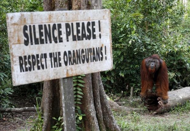 A male orangutan near a feeding station at Camp Leakey