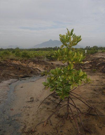 Mangroves at Kuching Wetlands National Park