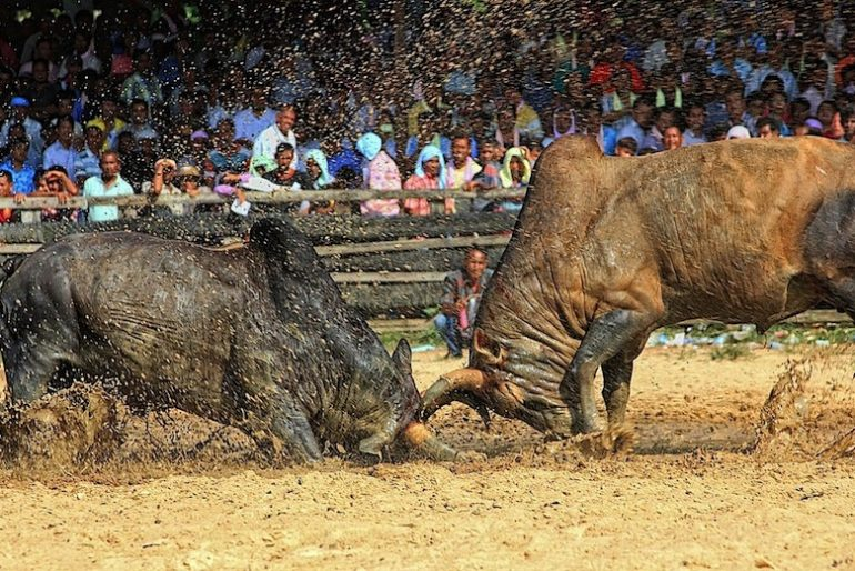 Locking horns at Songkhla bullfighting stadium