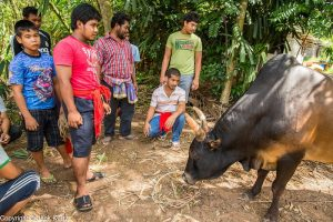 Curious men look at a Thai fighting bull before a bullfight
