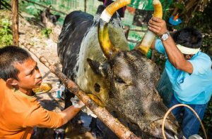 Owners clean up their bull after a bullfight