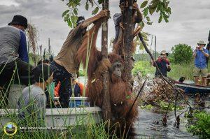 Big orangutan at Sebangau National Park