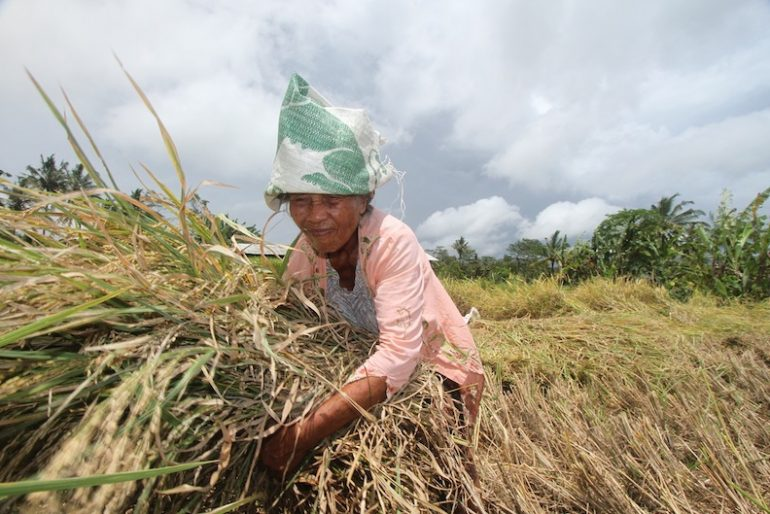 Local farmer harvesting the rice