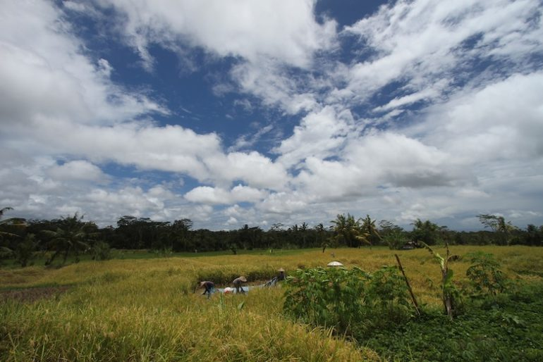 Rice paddies, a constant panorama in Bali