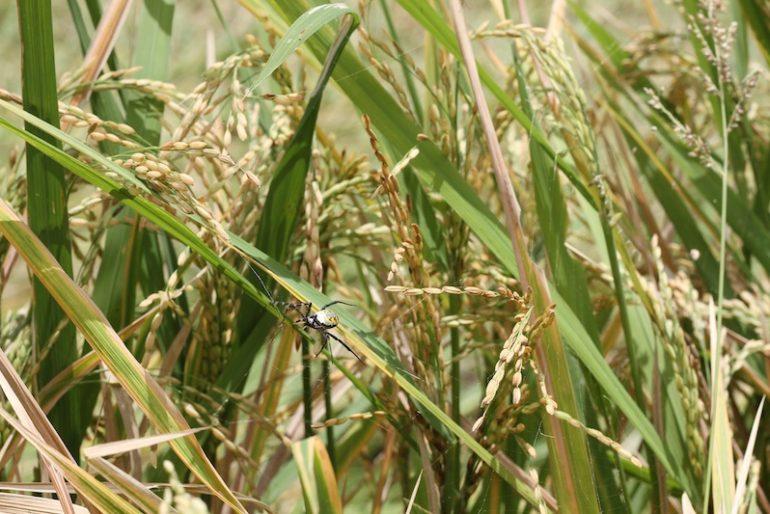 Rice, INdonesian people's staple diet