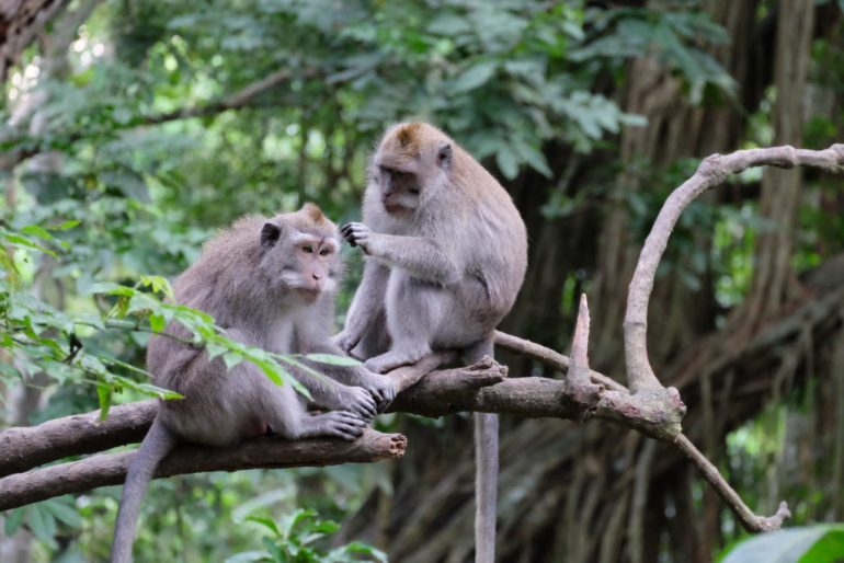 Monkeys at Monkey Forest