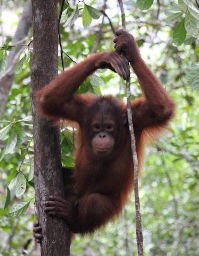 A young orang utan