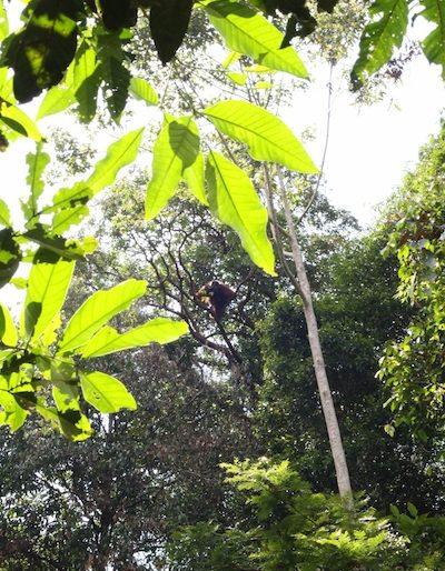 Orangutan in canopy