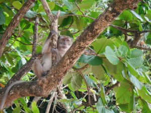 Macaque monkey lingering on a mangrove tree branch