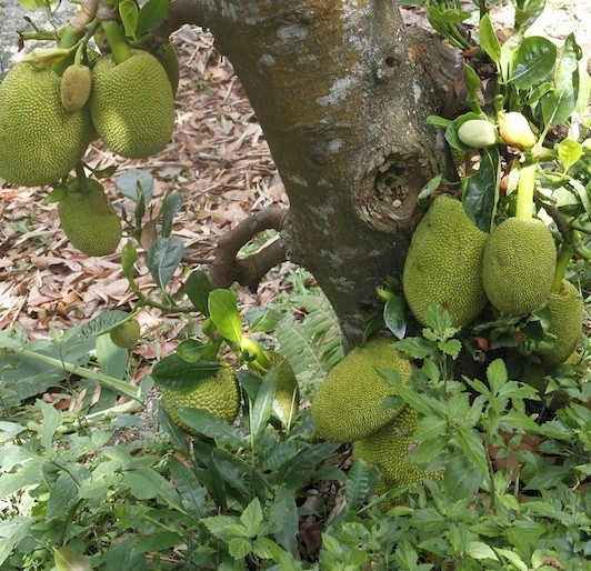 Jackfruit tree at the Tropical Spice Garden