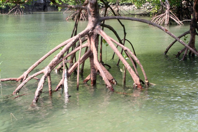 Mangroves roots in Krabi bay