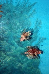 2 Lion Fishes in the Siam Ocean World