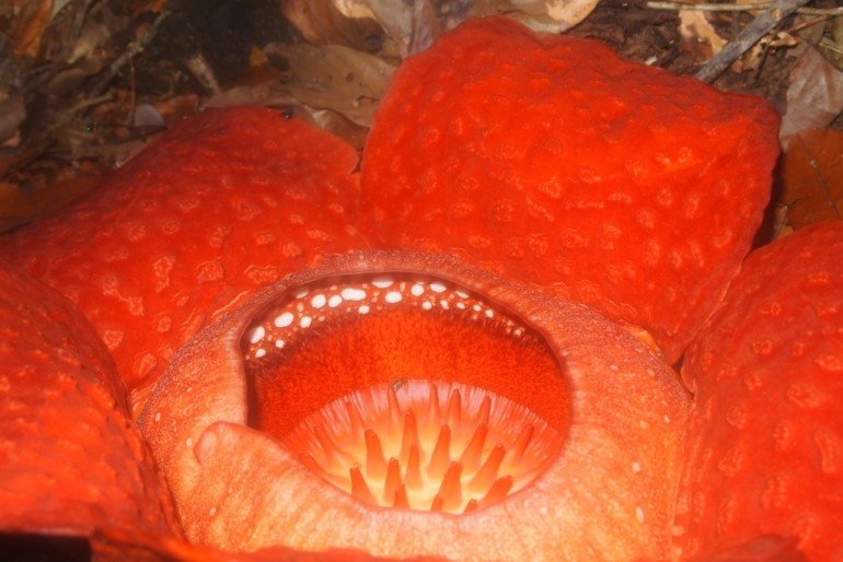 Rafflesia full bloom - 75 cm in diameter - five thick and fleshy red-coloured petals, covered in lighter coloured spots
