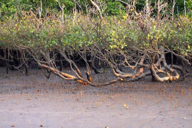 mangrove forests: a rich ecosystem, not always considered for its real value