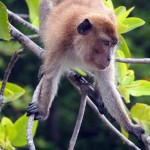 A Macaque in the mangroves of Krabi bay river