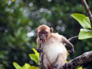 monkeys frequent seen in Krabi Bya