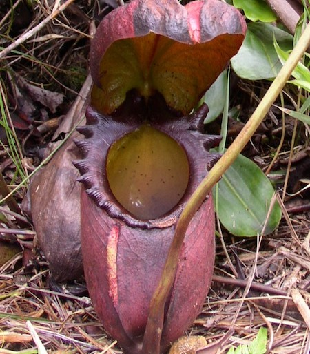 Nephentes carnivore plants at Sa Morakot