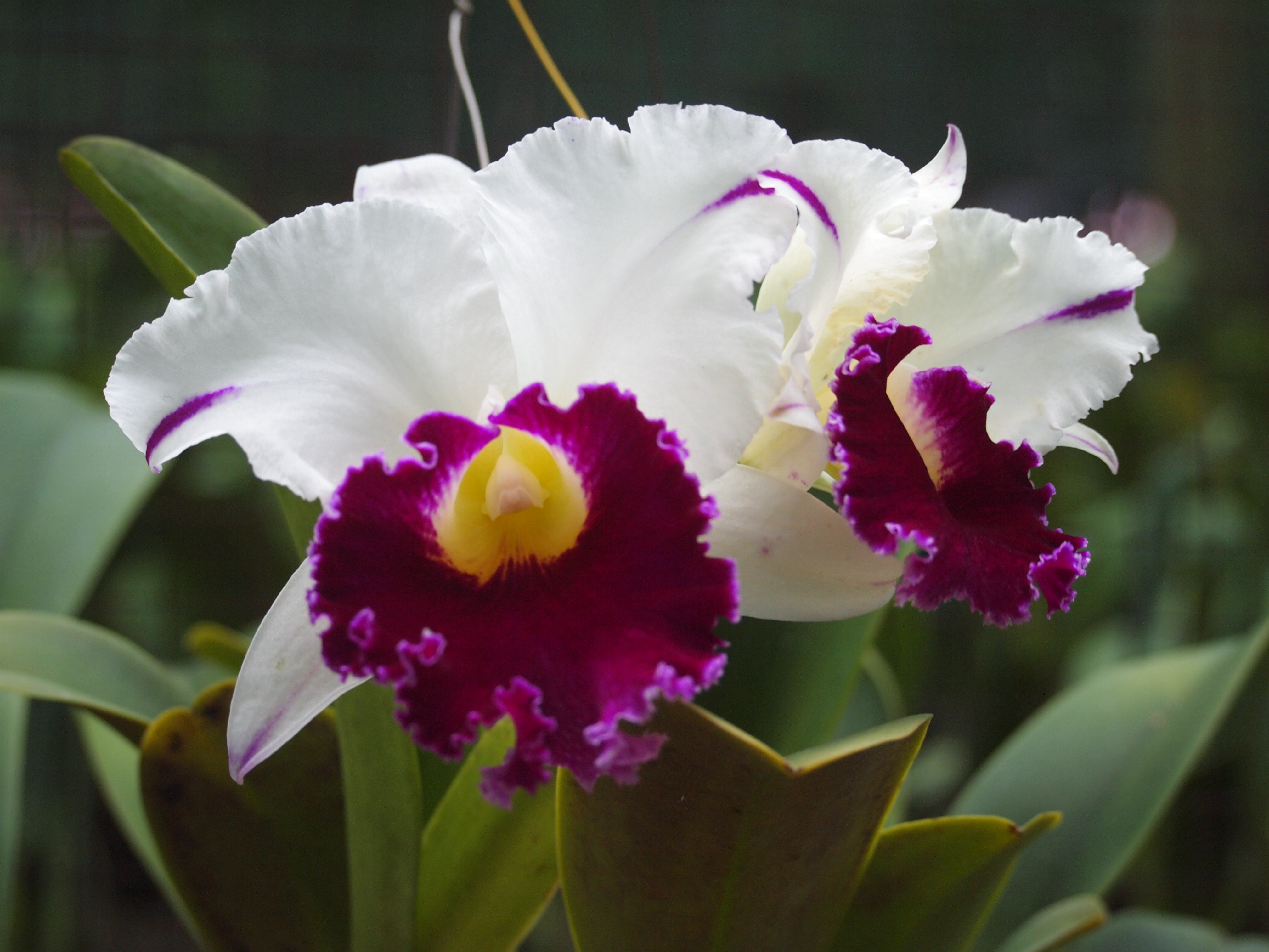 The Best Time To See Flowering Wild Orchids In Krabi Is