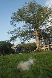 Cotton Silk Tree