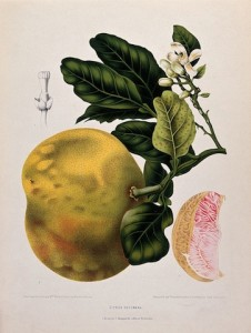 1885 chromolithograph of pomelo