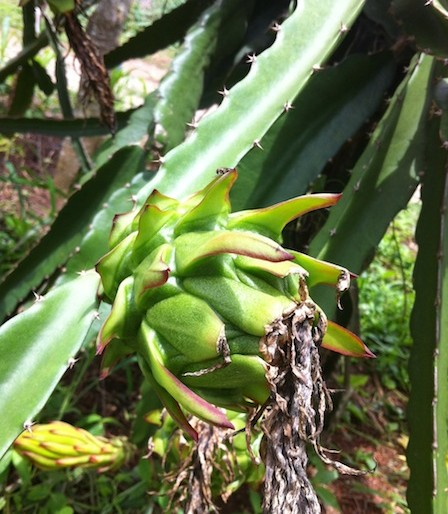 dragon fruit starts to form