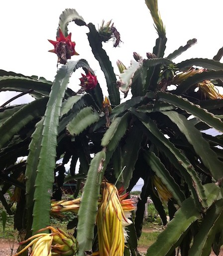dragon fruit plantation with fruits