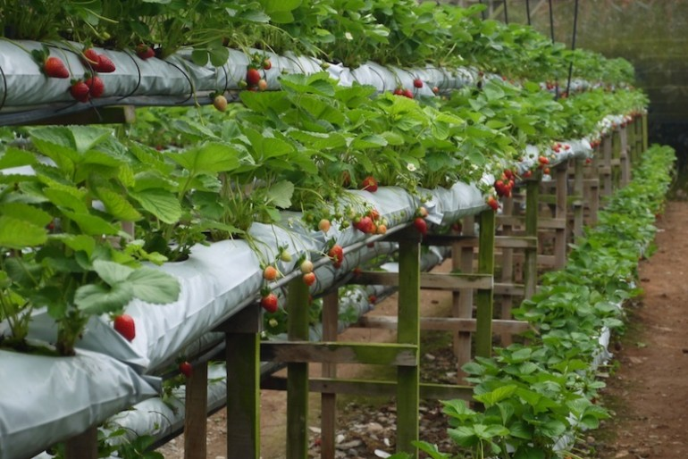 Strawberries plantation