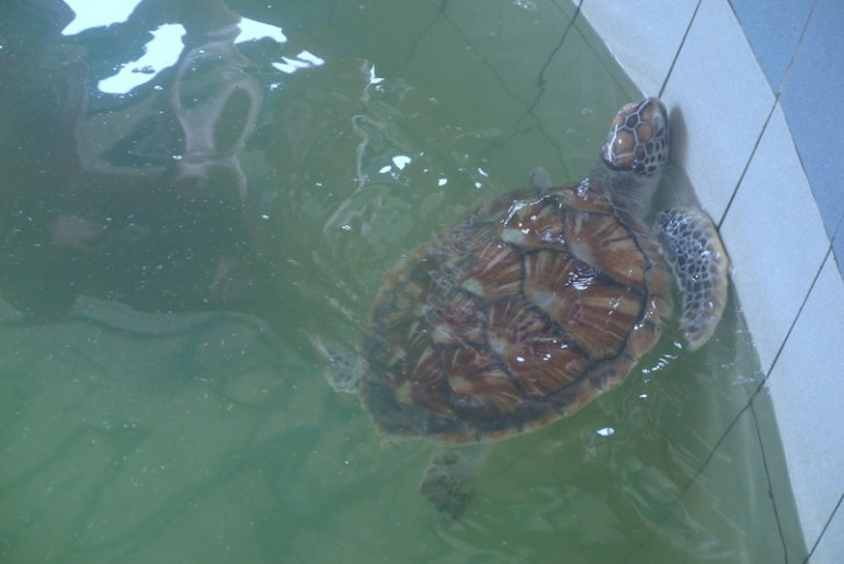 Beautiful turtle coming out from water