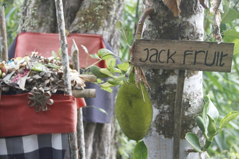 a nice jackfruit plant at at the Laksmi agro tourism