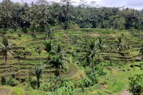 Le terrazze di riso di Tegallagang